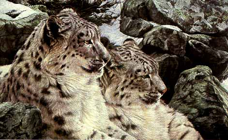 High Country Romance - Snow Leopards by Alan Hunt
