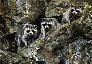 Hole in the Wall Gang - Raccoons by Alan Hunt
